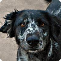 Adopt A Pet :: Becky - Oakley, CA