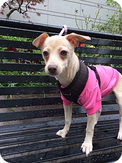 Chihuahua Mix Puppy for adoption in Long Beach, New York - Frannie