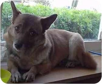 Welsh Corgi/Corgi Mix Dog for adoption in Lomita, California - April