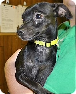 Chihuahua Mix Dog for adoption in Tavares, Florida - Midnght
