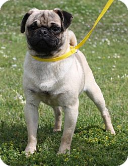 Pug Dog for adoption in Texarkana, Texas - Rip VW ADOPTED TX
