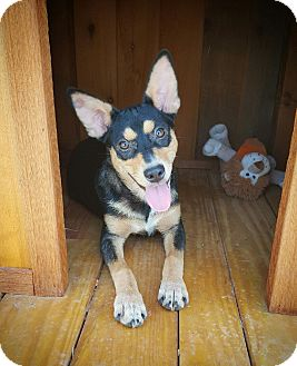 Miniature Pinscher/Chihuahua Mix Puppy for adoption in Fredericksburg, Texas - Tinker Bell