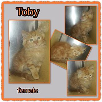 Domestic Mediumhair Kitten for adoption in Richmond, California - Toby