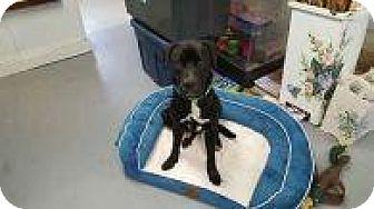 Boxer/Labrador Retriever Mix Dog for adoption in Rexford, New York - Second Chance