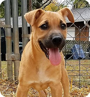 Labrador Retriever/Boxer Mix Puppy for adoption in Murphysboro, Illinois - Blair