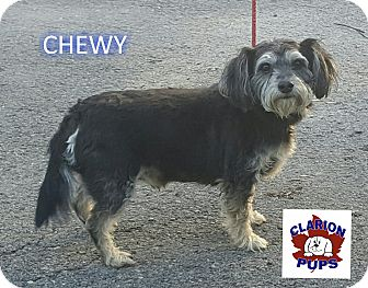 Schnauzer (Miniature)/Cocker Spaniel Mix Dog for adoption in Strattanville, Pennsylvania - CHEWY