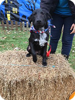 Labrador Retriever Mix Puppy for adoption in Patterson, New York - Milkdud