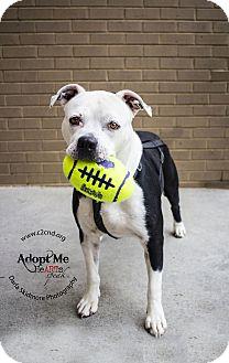 American Bulldog/Pit Bull Terrier Mix Dog for adoption in Charlotte, North Carolina - Haven
