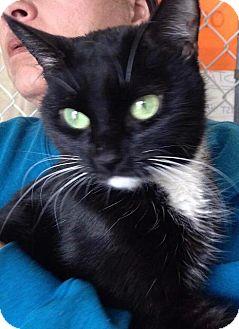 Domestic Shorthair Cat for adoption in Freeport, New York - Greta