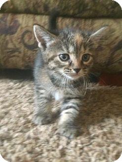Domestic Shorthair Kitten for adoption in Olivet, Michigan - Daisy