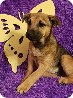 Labrador Retriever/German Shepherd Dog Mix Puppy for adoption in Newark, Delaware - Monroe