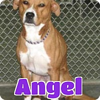 Adopt A Pet :: #2919 Angel - Lawrenceburg, KY