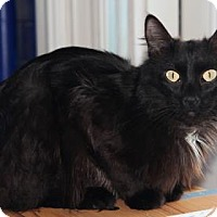 Domestic Mediumhair Cat for adoption in Mission, Kansas - Meowophone