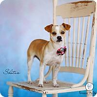 Adopt A Pet :: Shotzie - Lubbock, TX