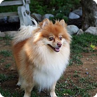 Adopt A Pet :: Lulu Belle - Whitehall, PA