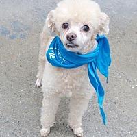 Adopt A Pet :: Tyson - Plainview, NY