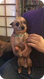Chihuahua Mix Dog for adoption in Studio City, California - Oscar