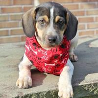 Adopt A Pet :: Freddie - Spring City, PA