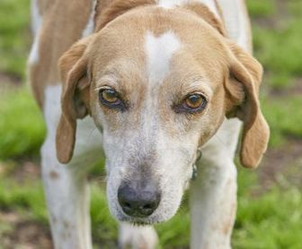 Treeing Walker Coonhound Mix Dog for adoption in Ravenel, South Carolina - Girly Girl