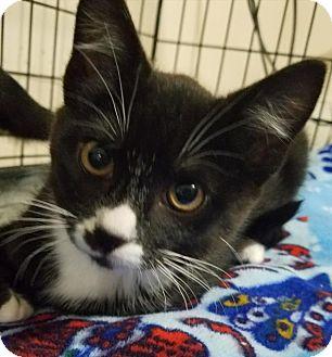 Domestic Shorthair Kitten for adoption in Cincinnati, Ohio - Clyde