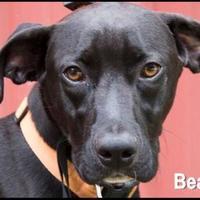 Labrador Retriever Mix Dog for adoption in West Columbia, South Carolina - Beau