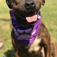 Mountain Cur/Staffordshire Bull Terrier Mix Dog for adoption in E. Greenwhich, Rhode Island - Josie