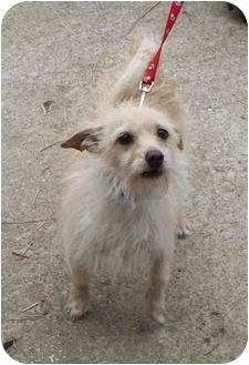 Wirehaired Fox Terrier Dog for adoption in Lexington, Missouri - Max