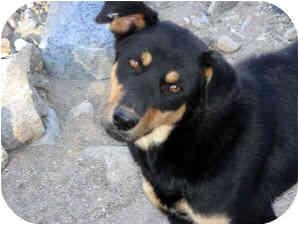 German Shepherd Dog/Rottweiler Mix Dog for adoption in Santa Fe, New Mexico - Carmelita