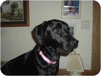 Labrador Retriever Dog for adoption in Griffith, Indiana - Karley