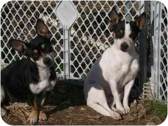 Chihuahua/Rat Terrier Mix Dog for adoption in Derry, New Hampshire - Abby & Molly