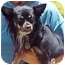 Photo 1 - Pomeranian/Papillon Mix Dog for adoption in Spring Valley, California - Bandit