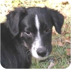 Spaniel (Unknown Type) Mix Puppy for adoption in Smithfield, North Carolina - Bones