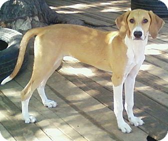 Greyhound/Labrador Retriever Mix Dog for adoption in Toledo, Ohio - Kammi
