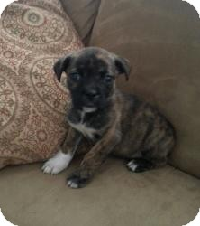 Boxer/Shepherd (Unknown Type) Mix Puppy for adoption in Marlton, New Jersey - Pebbles