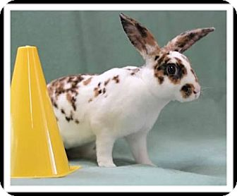 Mini Rex Mix for adoption in Williston, Florida - Kahlua