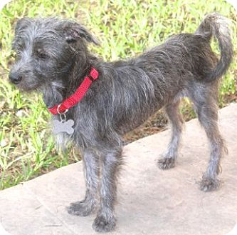 Schnauzer (Miniature) Mix Dog for adoption in Woonsocket, Rhode Island - Daisy-Meet this tiny girl!
