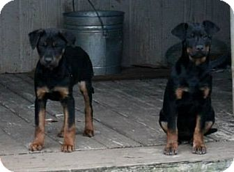 Rottweiler Mix Puppy for adoption in Naugatuck, Connecticut - Sol and Valerie