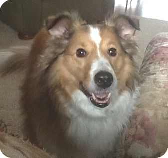 Sheltie, Shetland Sheepdog Dog for adoption in Circle Pines, Minnesota - Cody