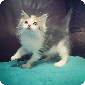 Domestic Longhair Kitten for adoption in Raleigh, North Carolina - Clarice