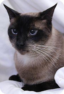 Siamese Cat for adoption in O Fallon, Illinois - Louie