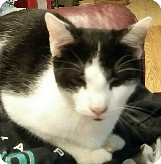 Domestic Shorthair Kitten for adoption in Troy, Ohio - Jaba