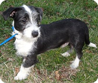 Standard Schnauzer/Terrier (Unknown Type, Medium) Mix Puppy for adoption in Rockville, Maryland - McCloud-ADOPTION PENDING