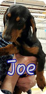 Dachshund Dog for adoption in Lubbock, Texas - LITTLE JOE