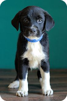 Border Collie Mix Puppy for adoption in Waldorf, Maryland - Paul
