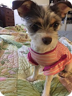Yorkie, Yorkshire Terrier/Chihuahua Mix Dog for adoption in Los Angeles, California - Kylie