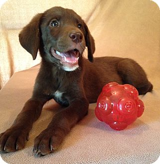 Australian Shepherd/Labrador Retriever Mix Puppy for adoption in SOUTHINGTON, Connecticut - Brandy