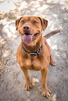 American Staffordshire Terrier Mix Dog for adoption in Santa Paula, California - Otis