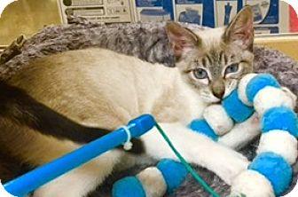 Siamese Kitten for adoption in Houston, Texas - Twinkie