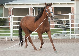 Quarterhorse Mix for adoption in Las Vegas, Nevada - Boone