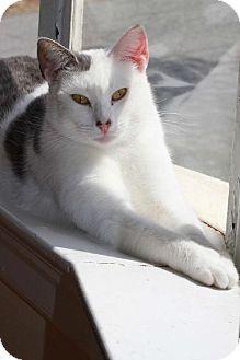 Turkish Van Cat for adoption in Buford, Georgia - Trixie